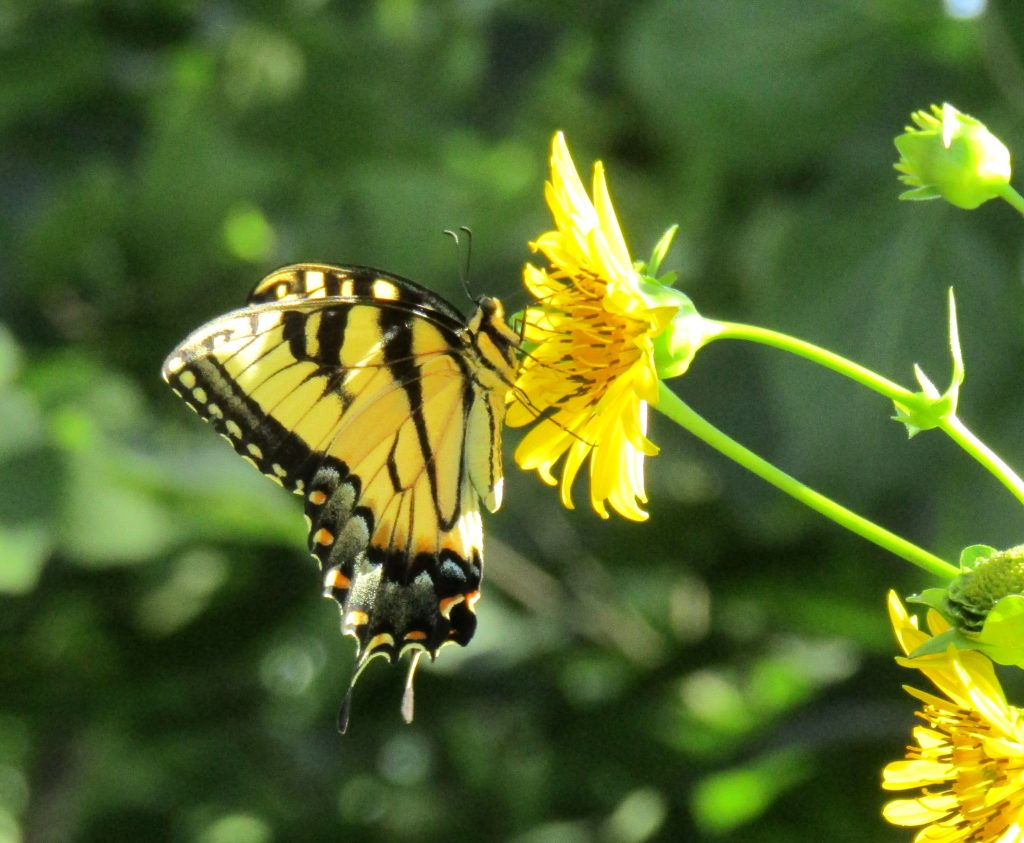 Swallowtail on Cup Plant 3