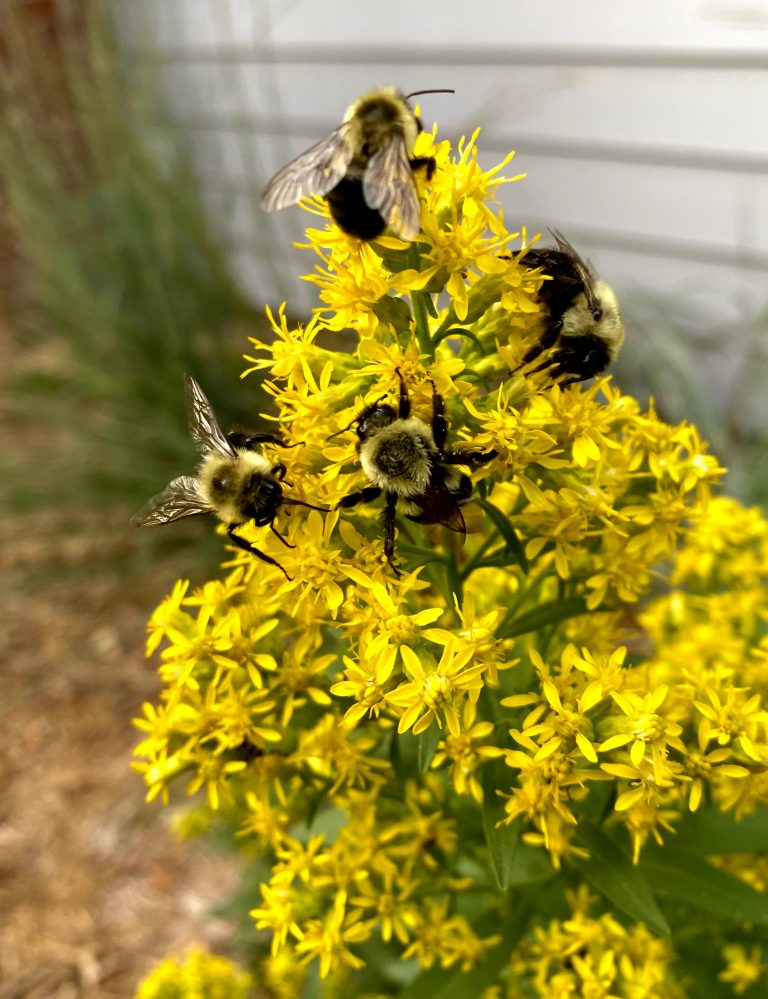Bumblebees visiting a stand of showy goldenrod (Solidago speciosa) in a Merriam, Kansas native garden