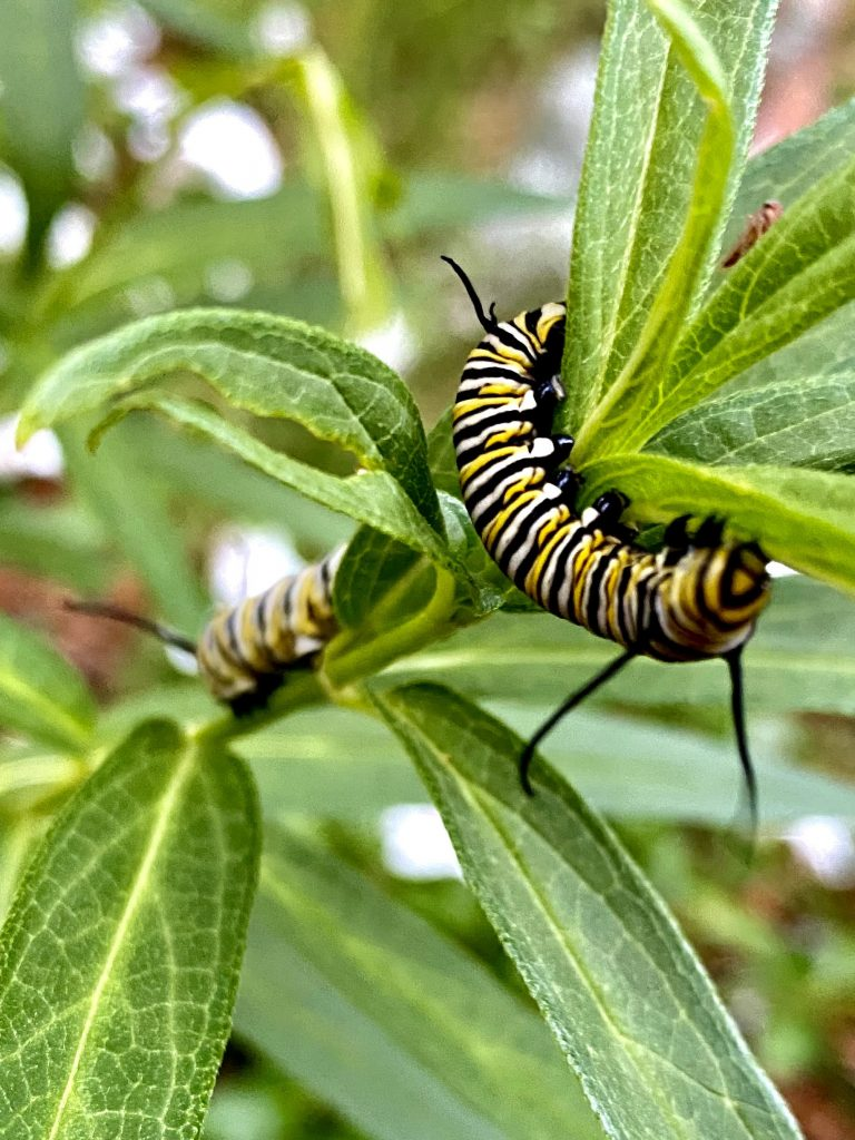 Monarch larvae munching on butterfly weed (Asclepias tuberosa)