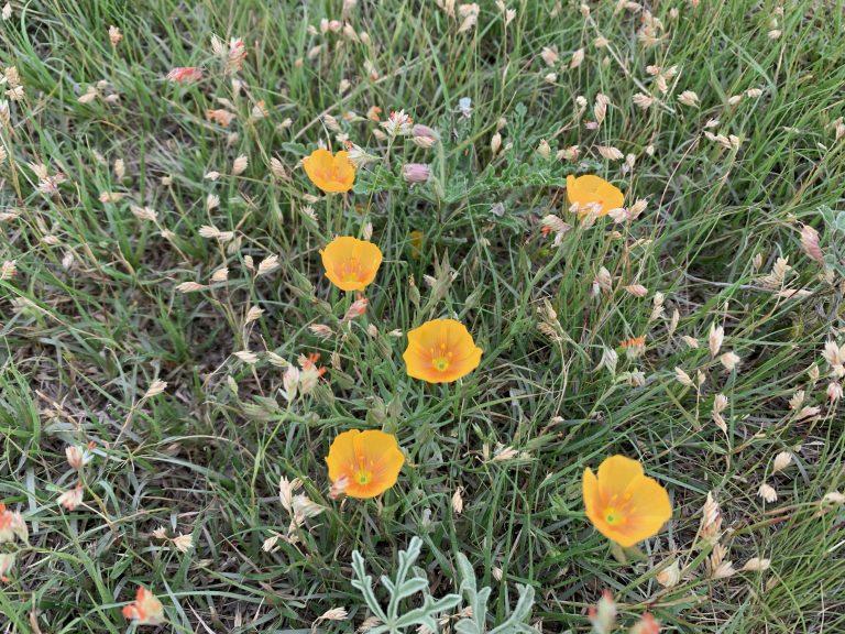 Berlandier's flax nestled in Buffalo grass