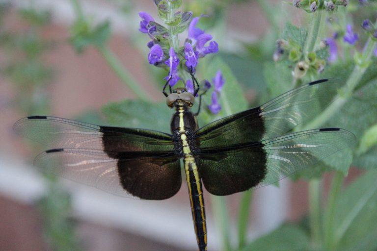 Dragonfly on Blue Sage Salvia