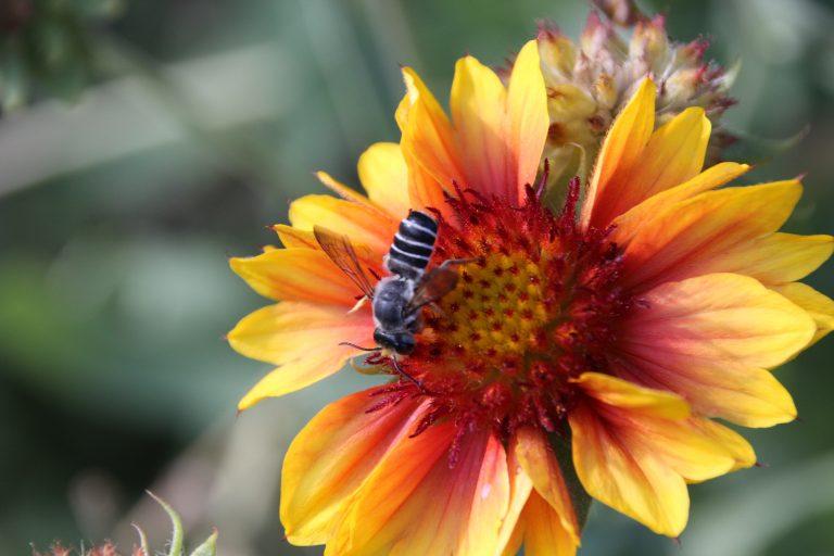 Gaillardia Blanket Flower with Bee