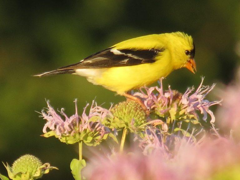 Wild Bergamot with American Goldfinch