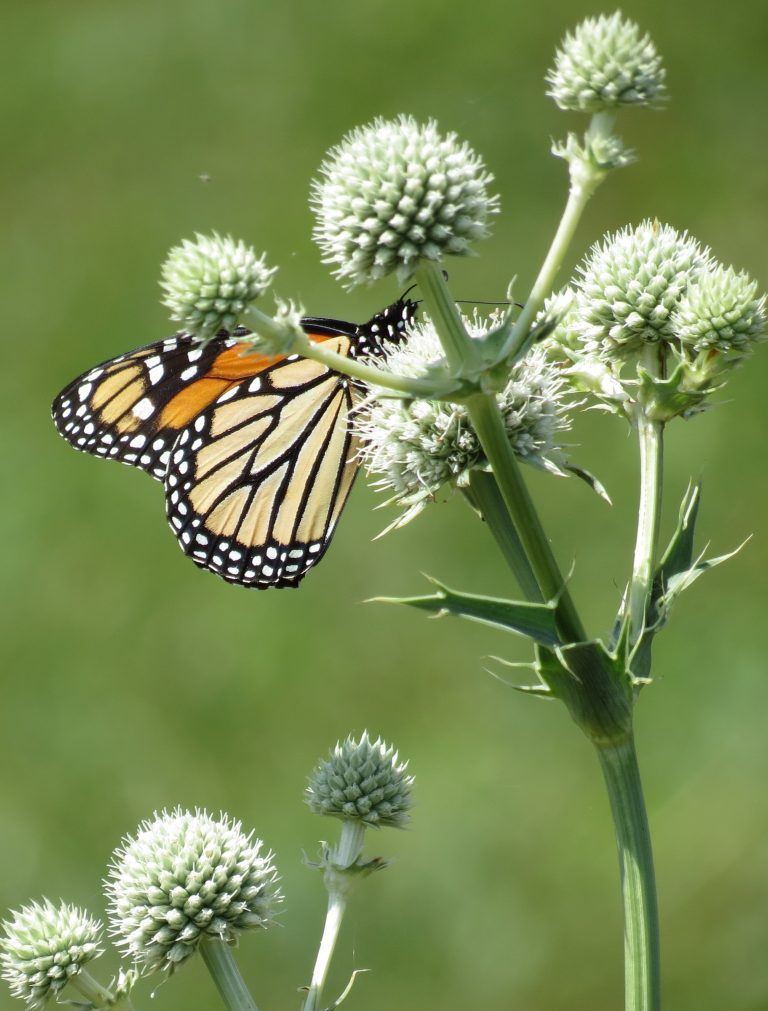 Rattlesnake Master with Monarch Butterfly