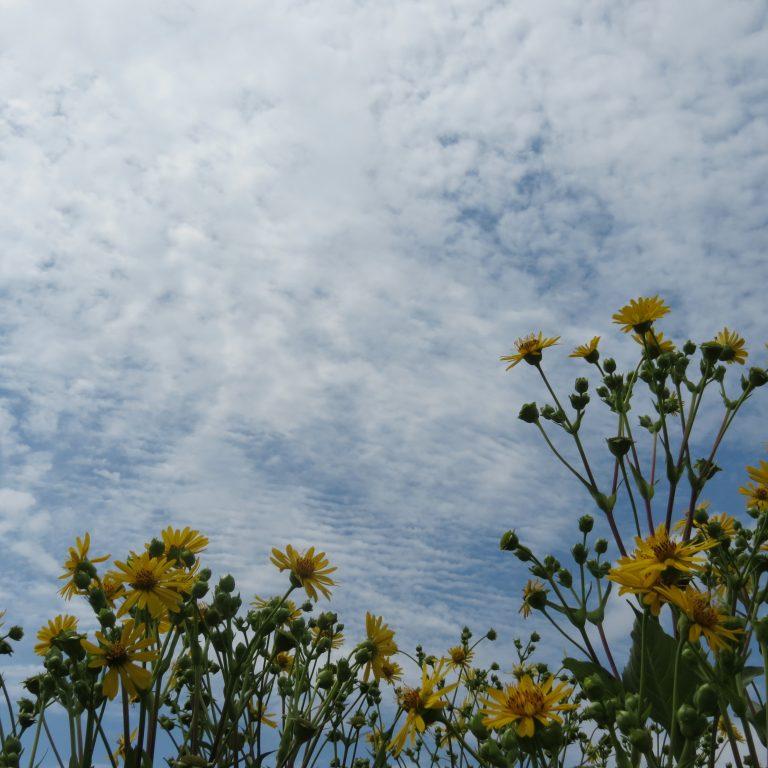 Cup Plant against a Kansas Sky