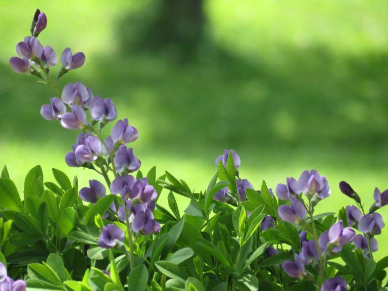 Blue Wild Indigo on a Spring Morning