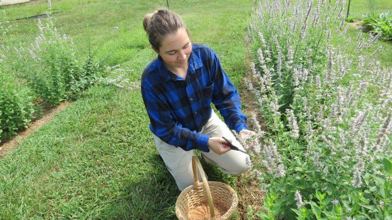 Hand Harvesting Anise Hyssop for Native Tea