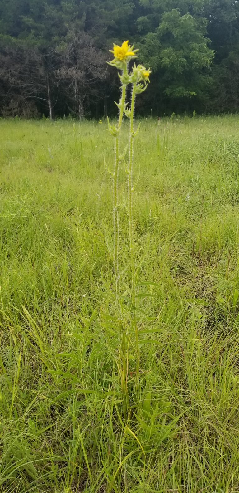 Compass Plant, (during bloom)
