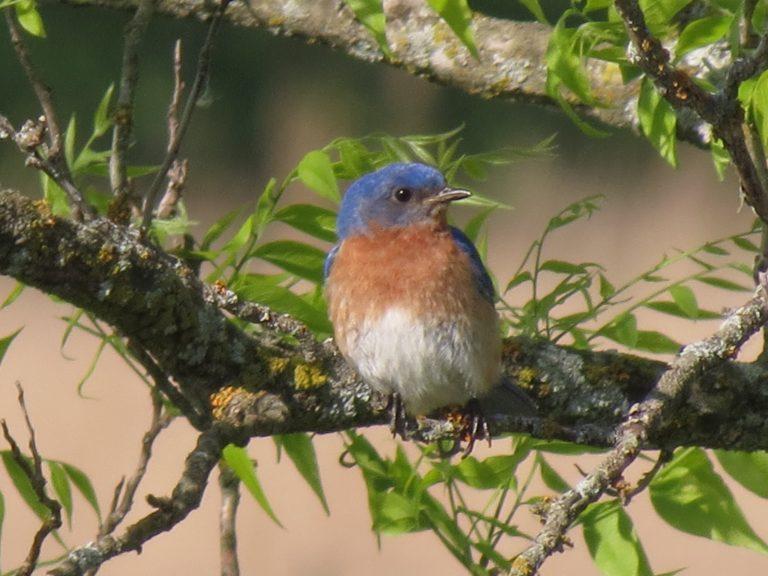Eastern bluebird on watch, northwest of Osage City