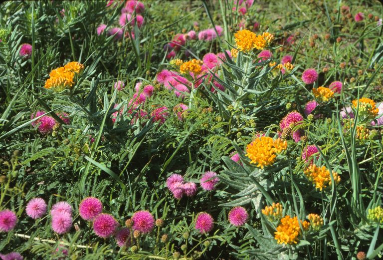 Butterfly milkweed and catclaw sensitive briar, near Maxwell Wildlife Refuge, McPherson County