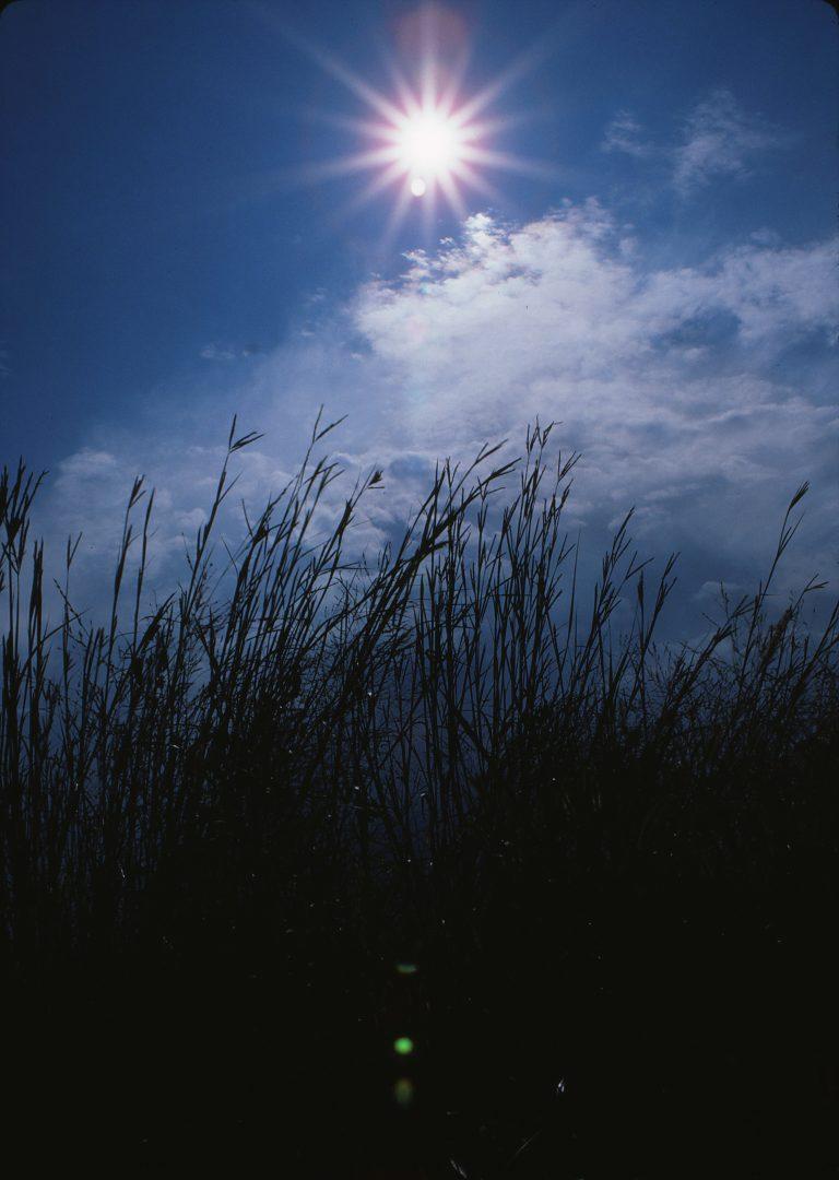 Big bluestem thriving in the Kansas sun, northwest of Osage City