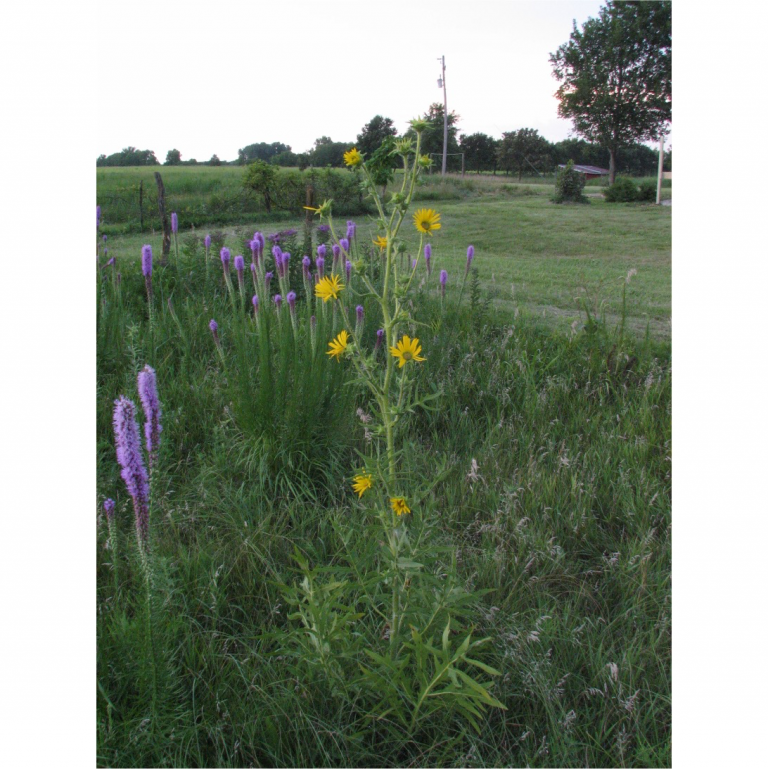 A compass plant showing the way, northwest of Osage City