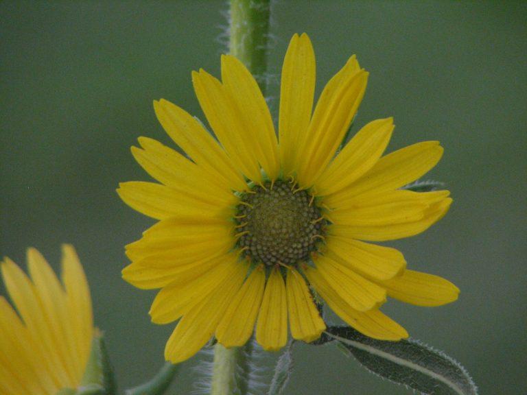 Compass plant flower, northwest of Osage City