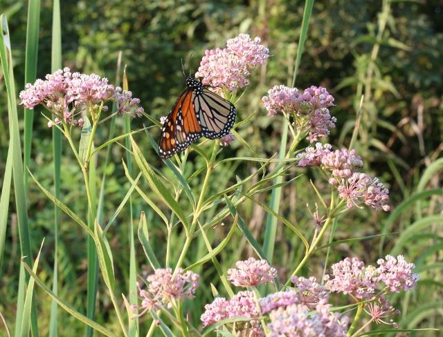 Monarch Butterfly, nectaring on a Swamp milkweed, N.W. Cherokee, Co. Ks.