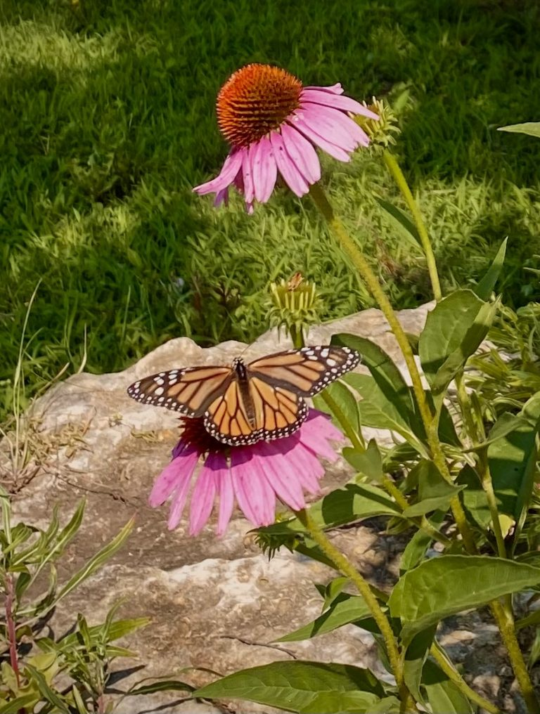 Coneflower and Monarch
