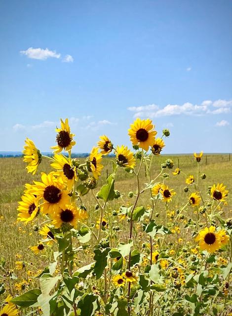 Sunflowers on the Prairie