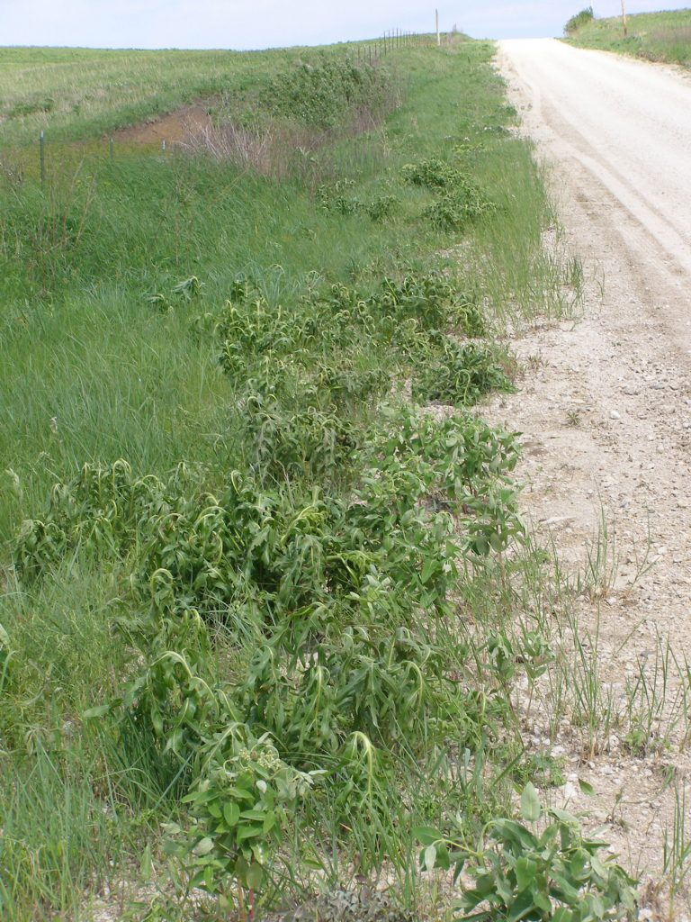 Wabaunsee County weed department roadside spraying of Compass plant