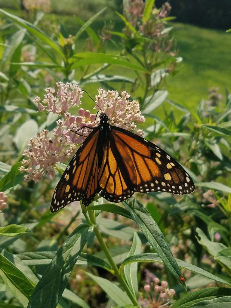 August Monarch Drinking Nectar from a Blooming Swamp Milkweed