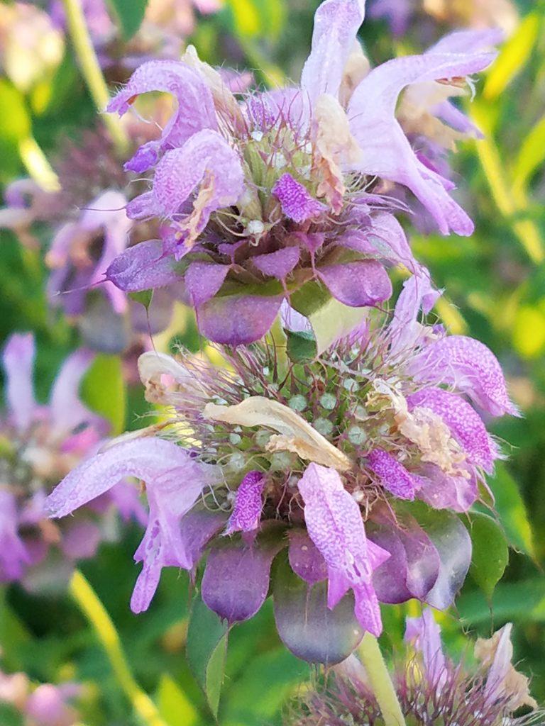 Bee Balm (Monarda)