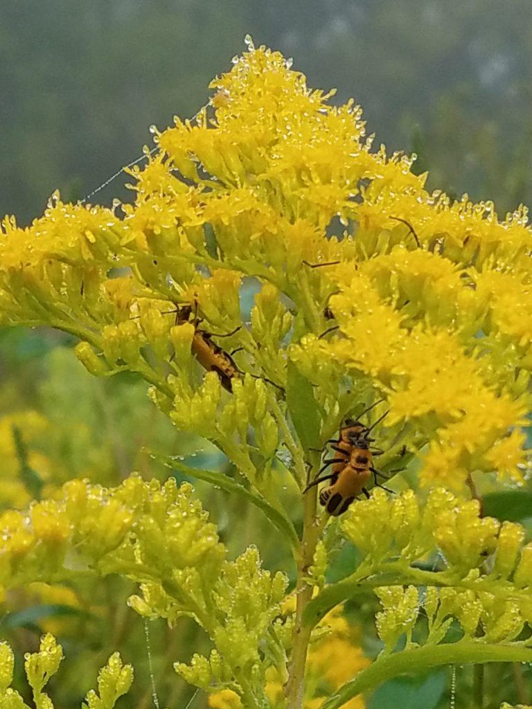 Goldenrod Soldier Beetles during Morning Dew