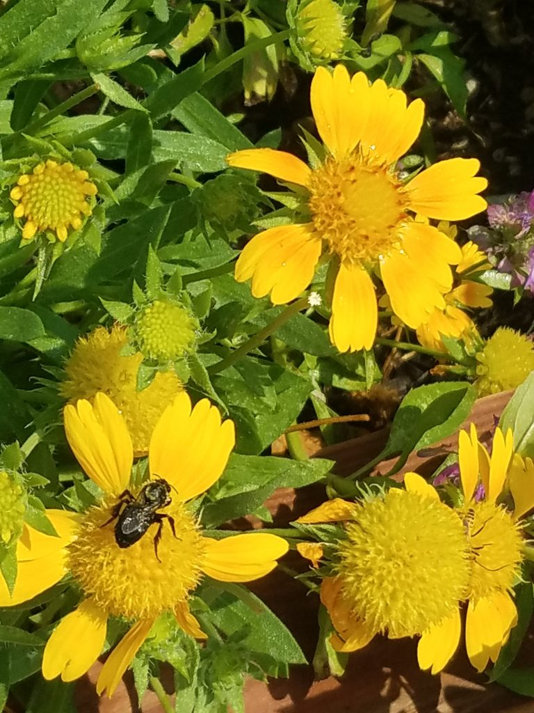 Blanket Flower and Bee