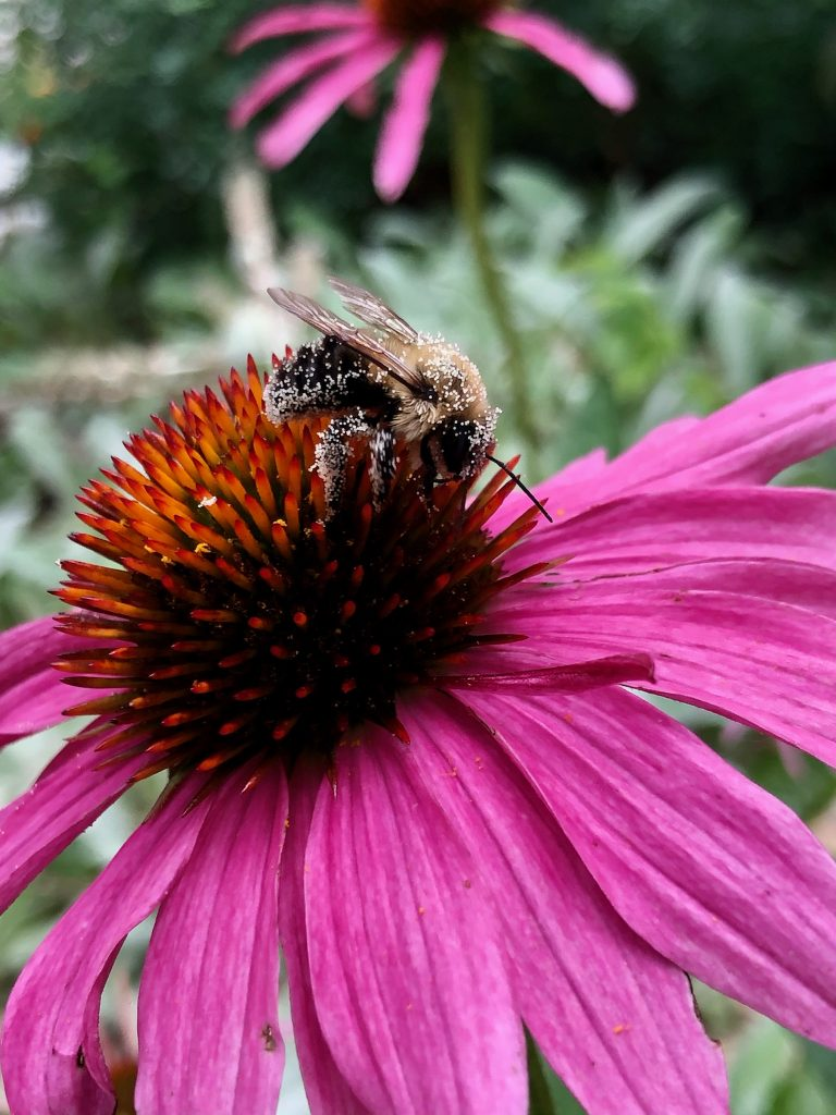 Busy Bee Pollinating Echinacea