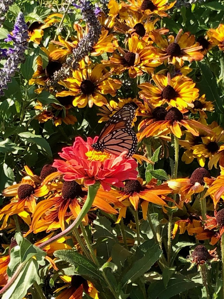 Monarch Amongst the Flowers