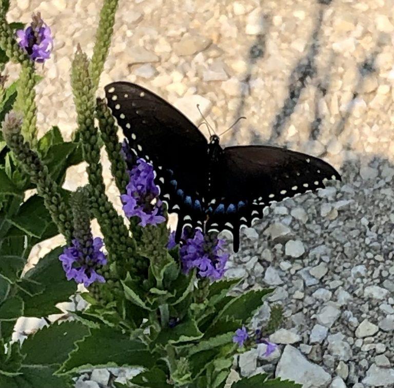 Swallowtail on Hoary Verbena