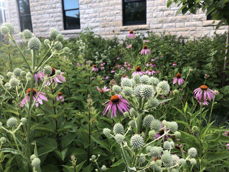 Native plants bed at KSU Rattlesnake master and echinacea