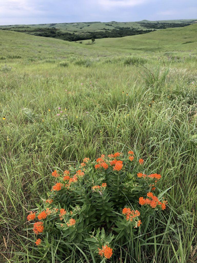 butterfly milkweed at Konza Prairie