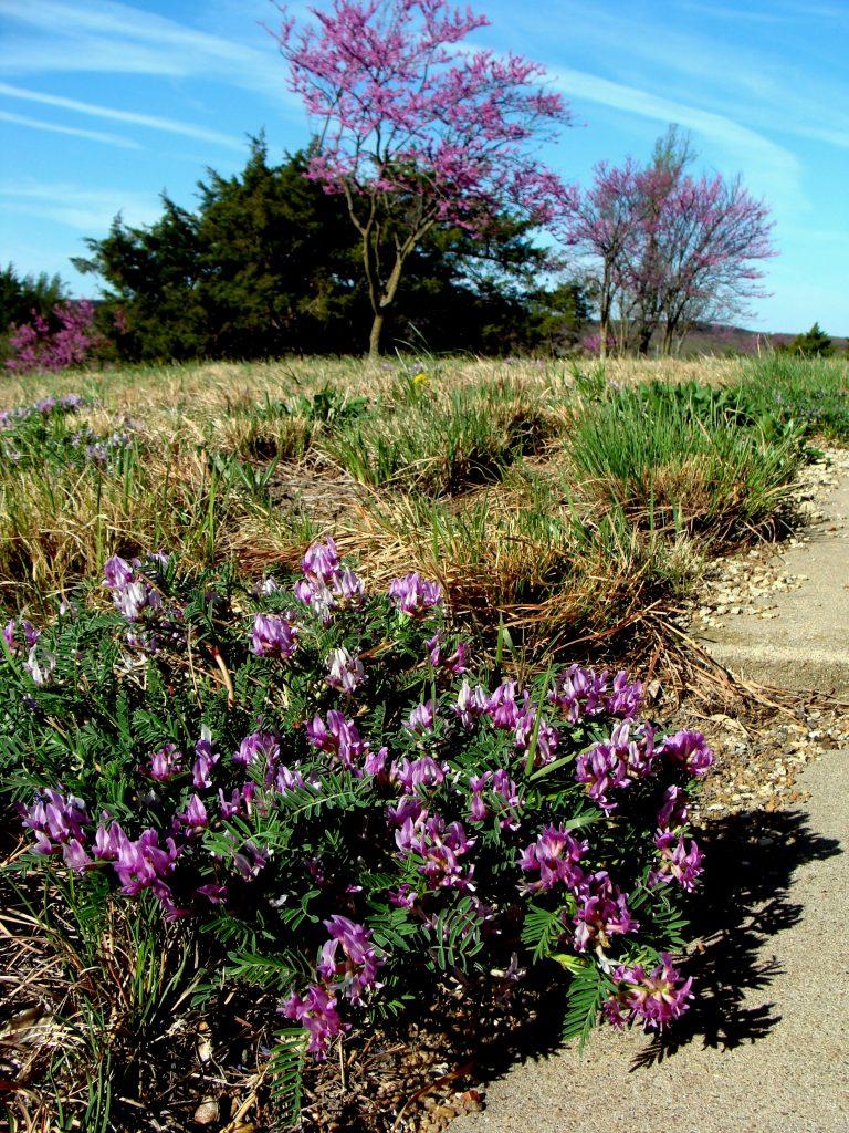 First to Bloom: Astragalus crassicarpus & Cercis canadensis