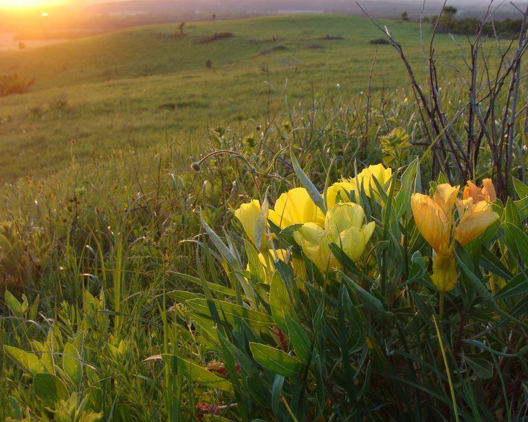 Missouri Evening Primrose Sunset